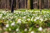 Vegetation carpet of snowdrops in floodplain forest — Stock Photo
