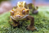 Detail of the head and eyes New Caledonian crested gecko — Stock Photo