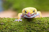 Leopard gecko pokes tongue, to moisten your eyes — Stock Photo