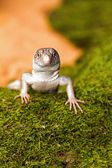 The baby Savannah monitor on moss (Varanus exanthematicus) — Stock Photo