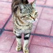 Stock Photo: Brindle tabby quietly stepping on pavement