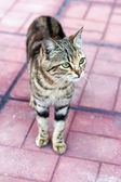 Brindle tabby quietly stepping on pavement — Stock Photo