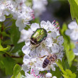 Hawthorn with flower beetles and bee — Stock Photo #47489847