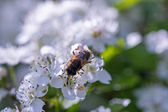 Drone, sucking nectar from the flowers of hawthorn — Stock Photo
