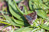 Red Underwing Skipper (spialia sertorius) on the leaves of plantain — Stock Photo