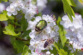 Hawthorn with flower beetles and bee — ストック写真