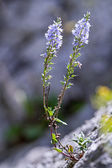 Heath Speedwell (Veronica officinalis) on the rock — Stock Photo