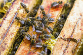 Macro shot of swarming bees on honeycomb — Stock Photo