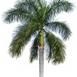 Coconut palm tree isolated on white — Stock Photo