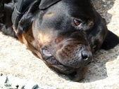 Rottweiler — Foto Stock