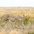 Cheetah — Stock Photo #28107745