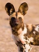 Perro salvaje africano — Stockfoto