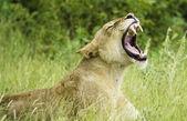 Brullende leeuw — Stockfoto
