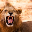 Lion displaying dangerous teeth — Stock Photo