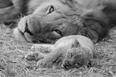Cute Lion Cub resting with father — Stock Photo