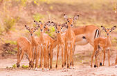 Herd of baby impala — Stock Photo