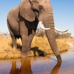 Постер, плакат: Elephant Drinking Water