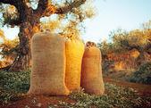 Three sacks filled with freshly gathered olives — Stock Photo