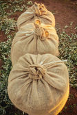 Three sacks filled with fresh olives in a row — 图库照片