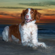 Brittany Spaniel on Beach - Stock Photo