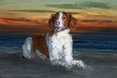 Brittany Spaniel on Beach — Стоковое фото