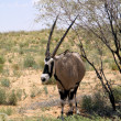 Gemsbok — Stock Photo