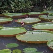 Giant Water Lillies — Stock Photo