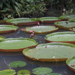 Stock Photo: Giant Water Lillies