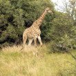 Stock Photo: South AfricGiraffe