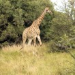 South African Giraffe — Stock Photo