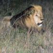 Stock Photo: Lion seen during night game drive