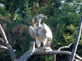 Cape Vulture — Stock Photo