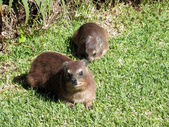 Rock Hyrax (Procavia capensis) — Photo