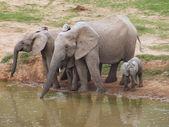 Elephant family at a waterhole — Stock Photo