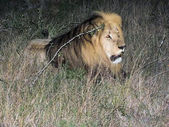 Lion seen during night game drive — Stock Photo