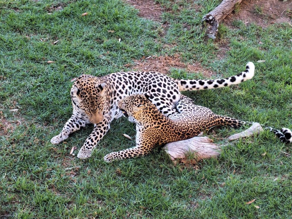 非洲豹动物 (金钱豹金钱豹)