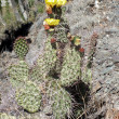 Stock Photo: Opuntiaurantiac(Jointed Prickly-pear) cactus