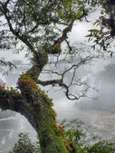 Parasitic plants overlooking Iguacu Falls — Stock Photo