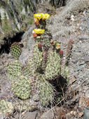 Opuntia aurantiaca (Jointed Prickly-pear) cactus — Stock Photo