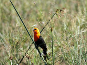 Scarlet-headed Blackbird (Amblyramphus holosericeus) — Stock Photo