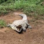 ������, ������: Nile Crocodile Crocodylus niloticus