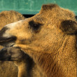Stock Photo: Bactrian camels