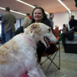 Zagreb,Croatia. March 9th, 2013. CACIB - International dog show in Zagreb. CACIB was organized by the Croatian Kennel Club and held at the Zagreb Fair - Stock Photo