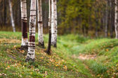 Birch trees in a clearing — Stock Photo