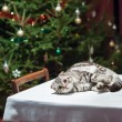 Pets in anticipation of Christmas and New Year — Stockfoto