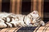 Scottish Fold kitten lying on the couch — Stock Photo
