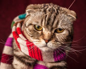 Serious Scottish Fold cat in striped scarf — Stock Photo