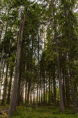Spruce forest in the rays of the sun backlit — Stock Photo