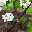 Blossoming apple tree branch in spring — Stock Photo #39853435