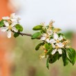 Blossoming apple tree branch in spring — Stock Photo #39853437